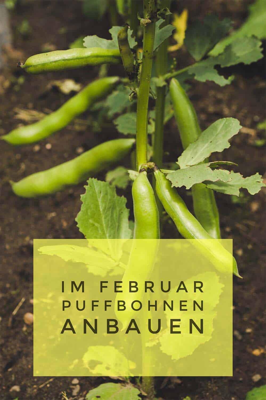 Dicke Bohnen (Puffbohnen) lassen sich leicht selbst im Garten anbauen. Februar wird gesät. Ende Mai, Anfang Juni ist Erntezeit. Mit Rezeptvorschlägen.