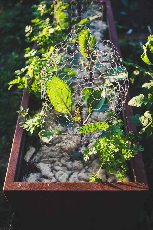 richtig mulchen im Garten mit Schaftswolle