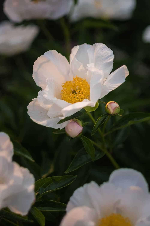 Chelsea Flower Show 2018 Päonien mein Garten