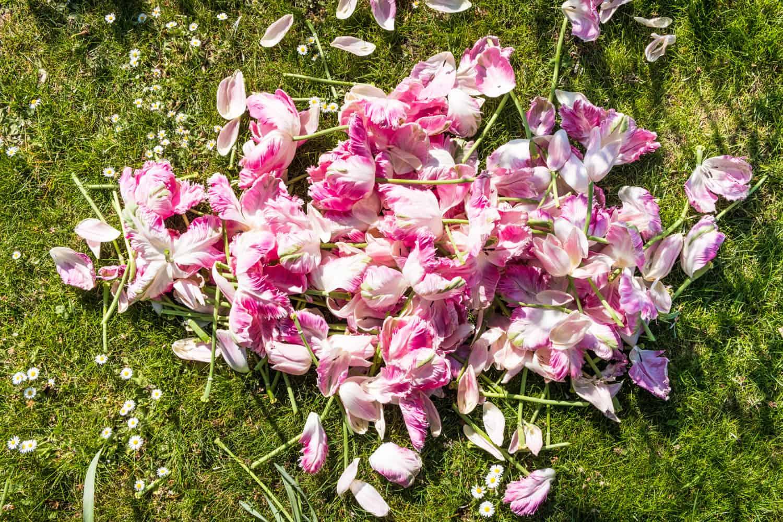 abgeschnittene Tulpenblüten