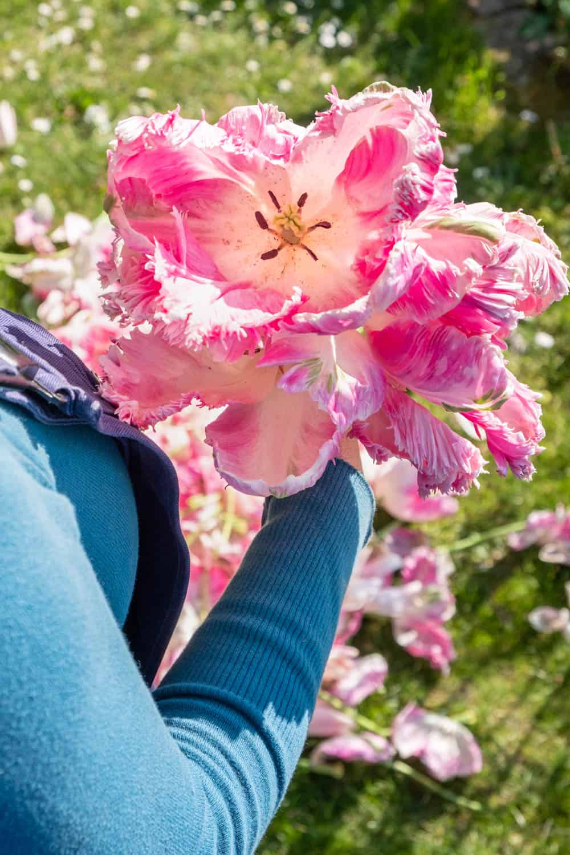 verblühte Tulpen in der Hand