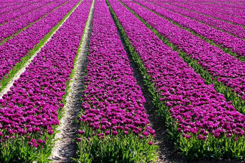 Tulpenfeld Holland lila