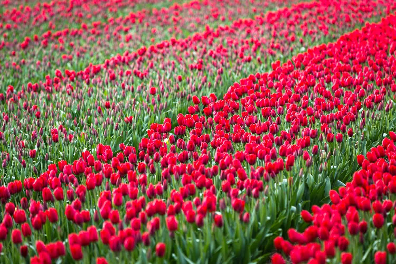 Tulpenfeld Holland rot