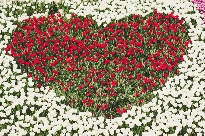 Tulpenherz rot und weiß