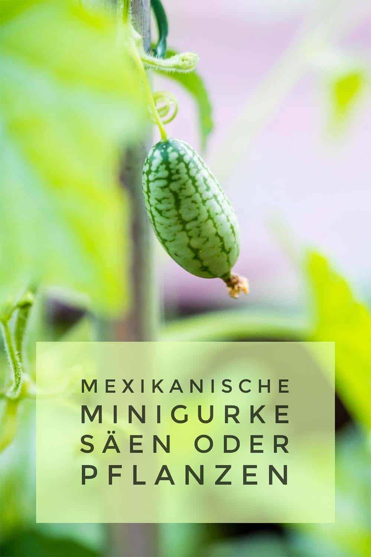 Die Früchte der mexikanischen Minigurke sehen aus wie kleine Wassermelonen