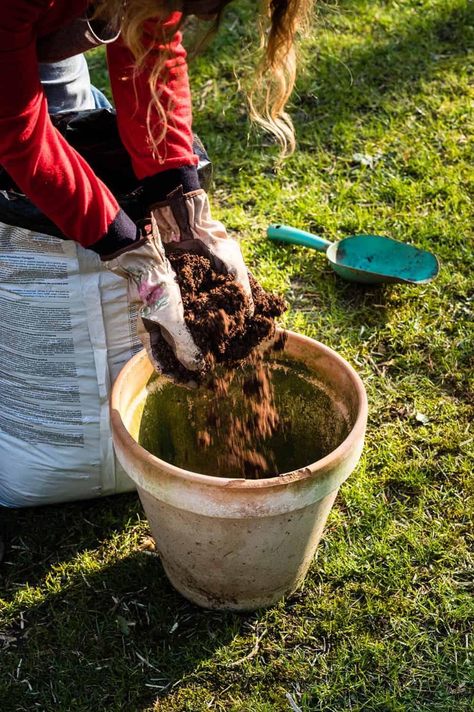 Der Kübel wird mit saurer Rhododendron-Erde gefüllt.