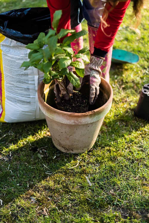 Teepflanze etwas tiefer setzten als im vorherigen Topf. Das schützt vor Frostschäden.