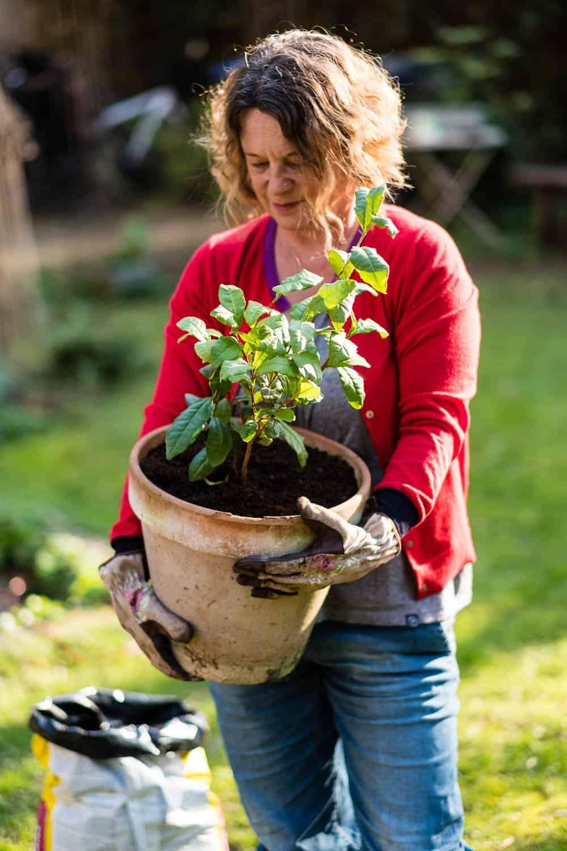 In diesem Kübel kann die Teepflanze die nächsten drei Jahre wachsen.
