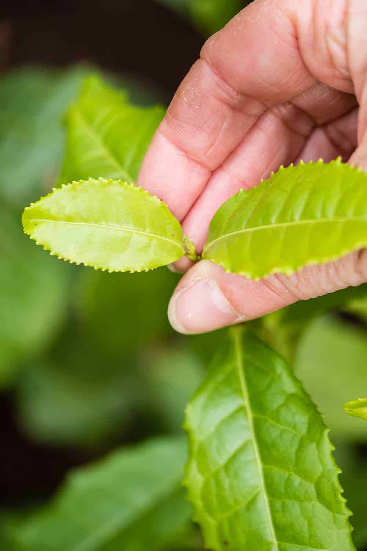 Wir ernten die ersten Blätter an unserer Teepflanze