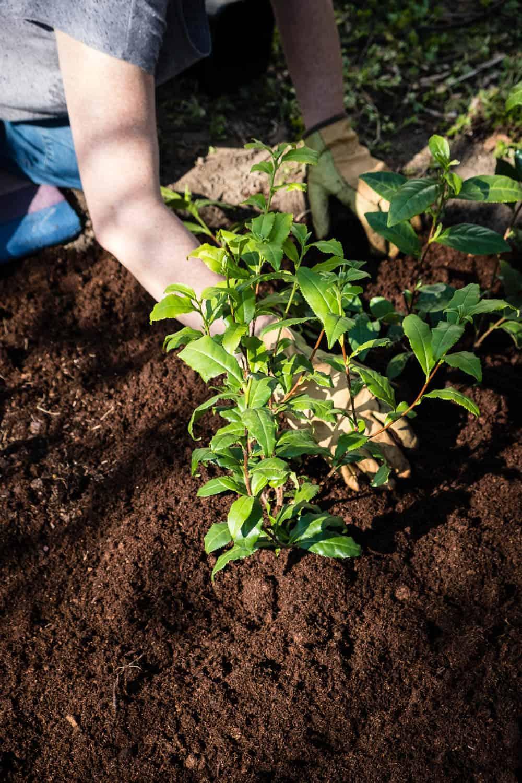 Für eine dicht verzweigte Tee-Hecke benötigen die Teepflanzen einen Pflanzabstand von 50 Zentimetern.