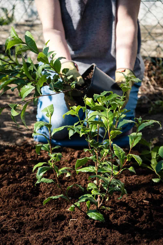 Die Teepflanzen werden mit 50 Zentimeter Abstand in das Moorbeet gepflanzt.