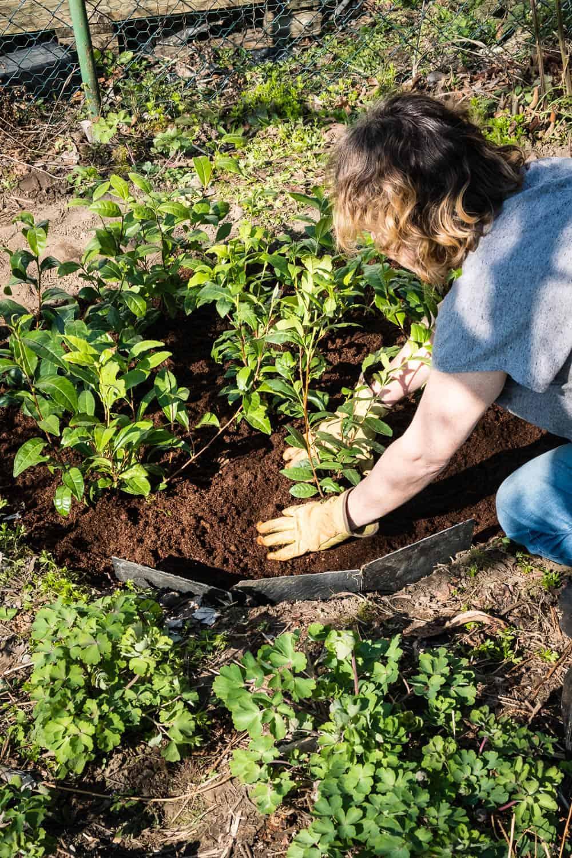 In unserem Tee-Beet finde sechs Teepflanzen Platz.