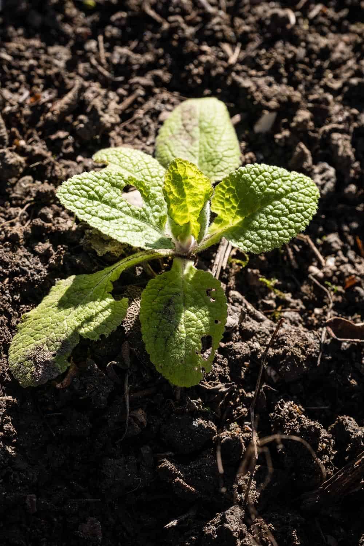 junge Fingerhutpflanze