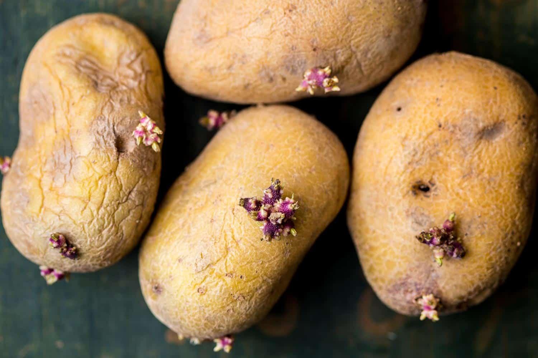 Große Knollen kann man auch teilen, wenn man zu wenige Saatkartoffeln hat.