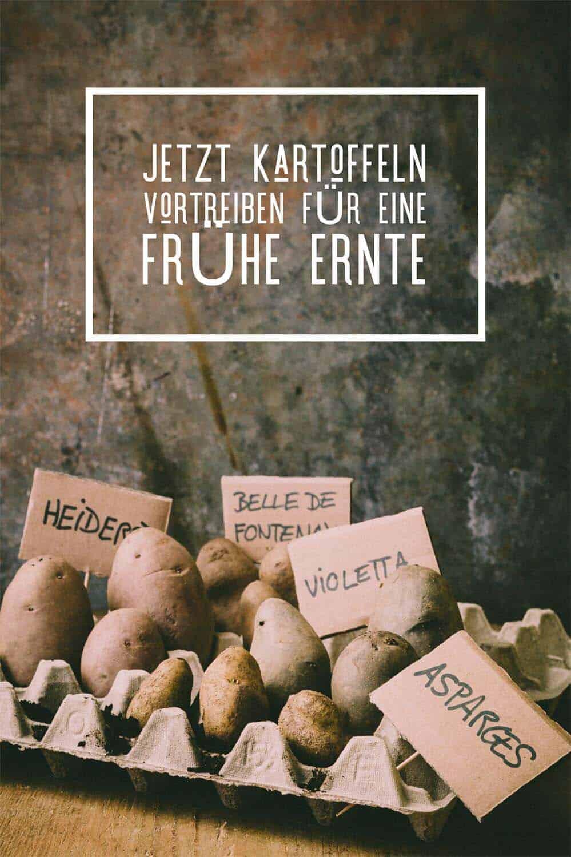 2-3 Wochen bevor Ihr Kartoffeln pflanzen wollt, könnt Ihr sie auf einer sonnigen Fensterbank vortreiben. Das führt zu einer früheren und größeren Ernte.