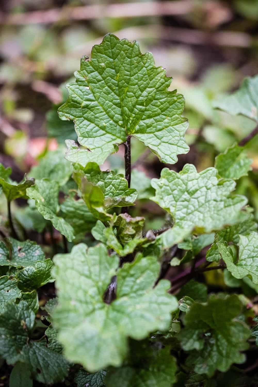 Knoblauchsrauke schmeckt leicht nach Knoblauch, einige Schmetterlinge sind auf ihre Blätter und Blüten angewiesen.