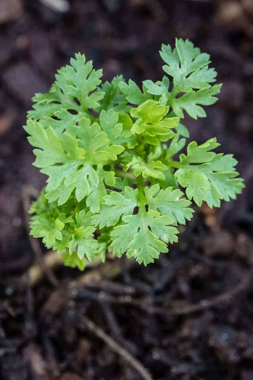 junge Mutterkrautpflanze, gut am intensiven Blattgeruch zu erkennen