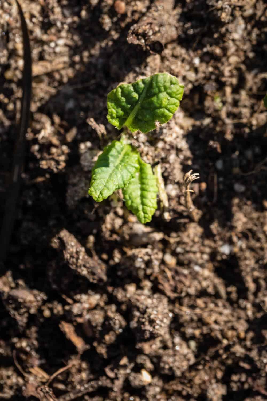 Junge selbst ausgesäte Primelpflanze