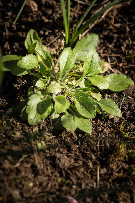 junge Wildasternpflanzen