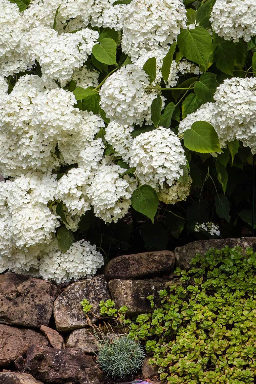 Hortensien nicht in Kälteinseln pflanzen