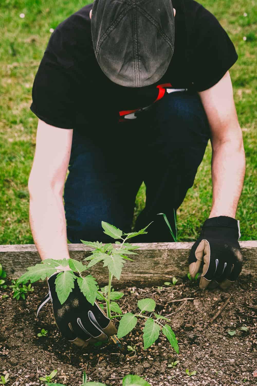 Erste Aktion in Vadders Garten - Tomaten pflanzen