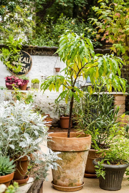Frostempfindliche Kübelpflanzen