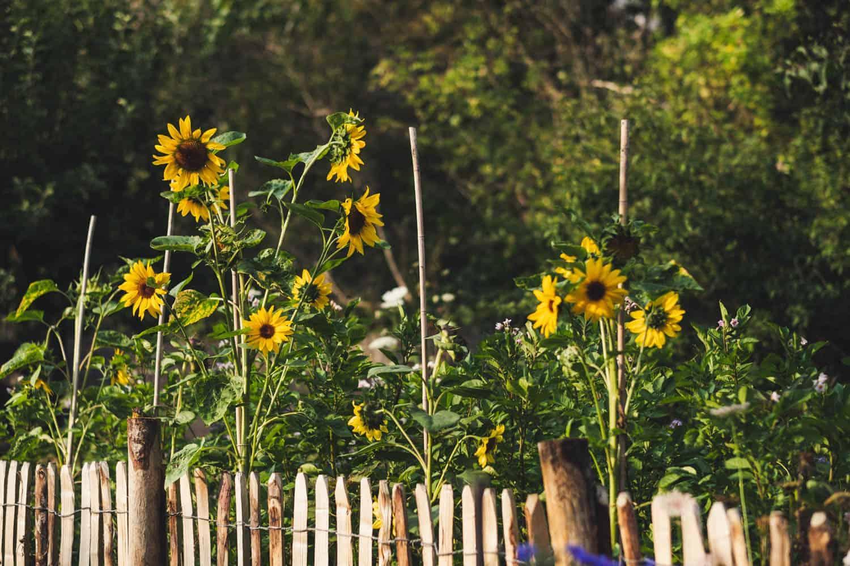 Sonnenblumen hinter Staketenzaun