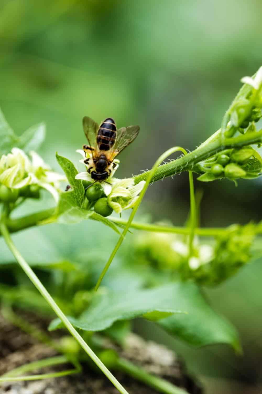Zaunrüben-Biene