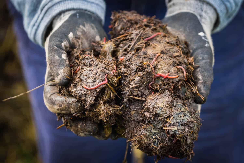 Nützlinge: Kompostwürmer in Pferdeäpfeln